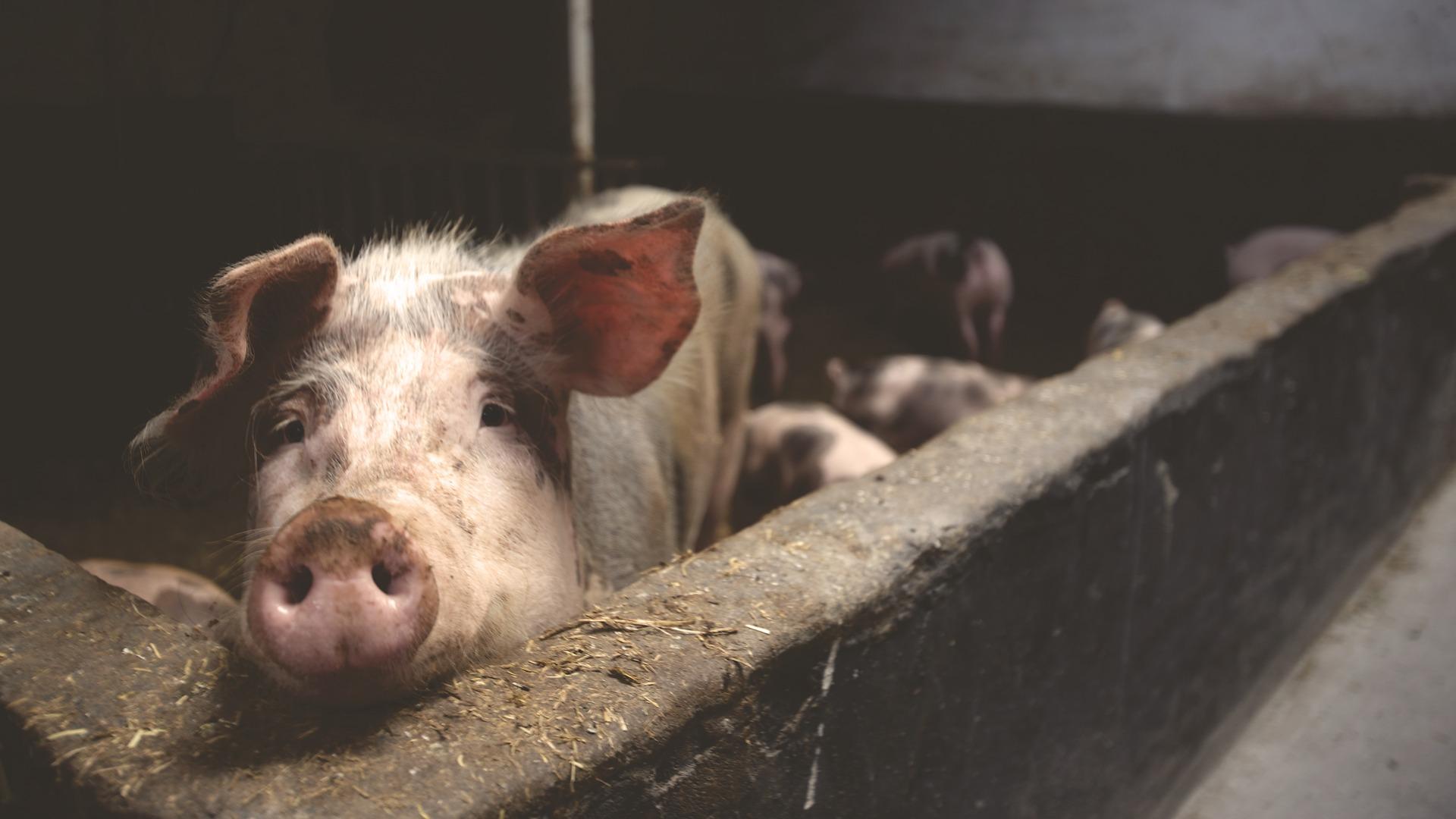 swinery_beef_farm-solution